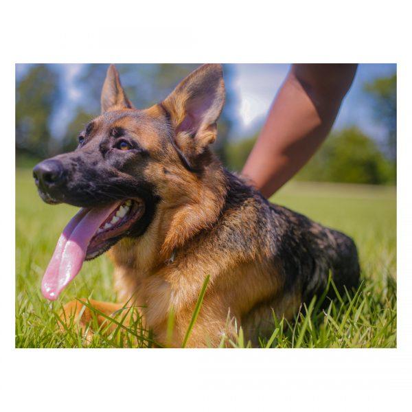 Dutch, German Shepherd